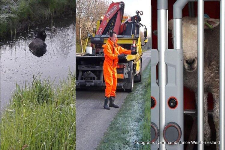 Dierenambulance West-Friesland helpt schaapjes in nood op het droge